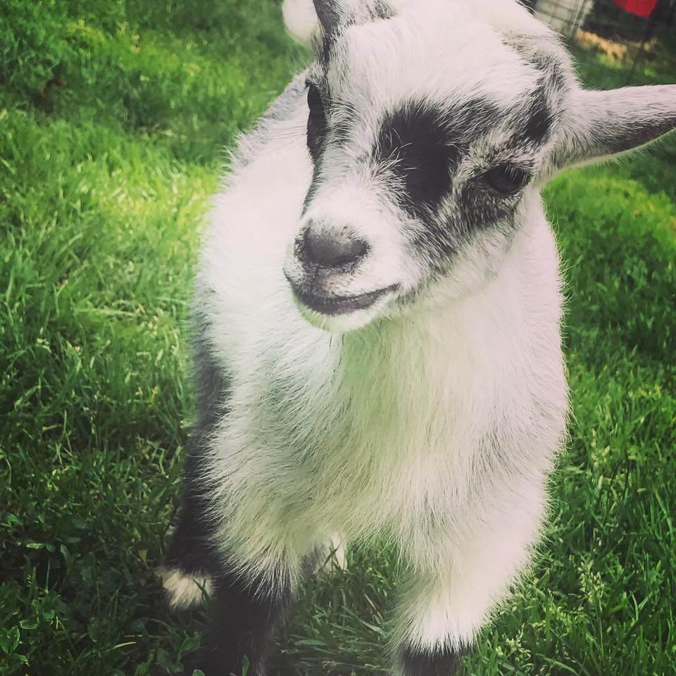 Goats-Rainbow-Ridge-Farms